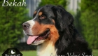 Bekah- Bernese Mountain Dog Dam