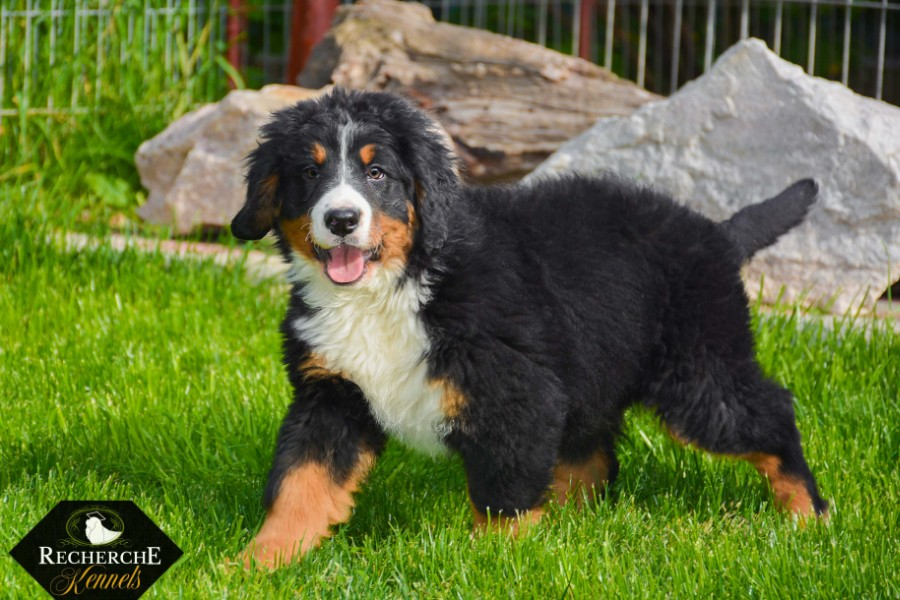 Beautiful Bernese Mountain Dog puppy from Recherche Bernes