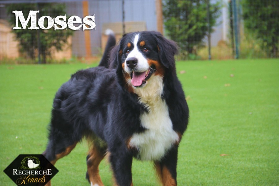 Bernese Mountain Dog- a strong, affectionate Swiss dog breed