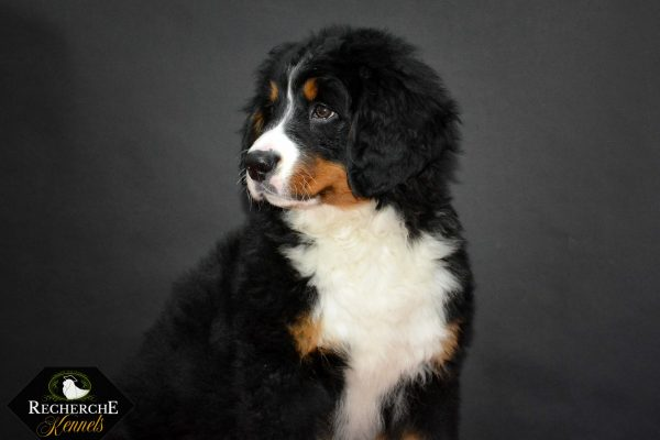 Bernese Mountain Dog Puppy- Recherche Bernes