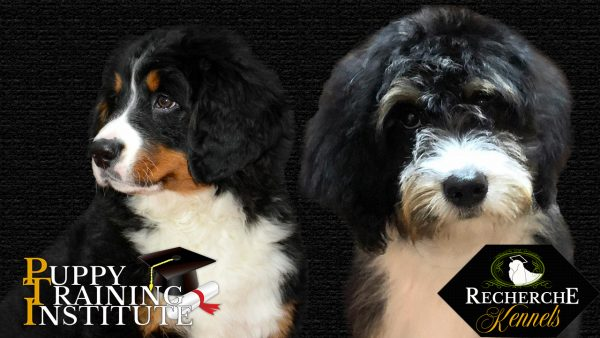 Breeder and Trainer of Bernese Mountain Dog and Bernedoodle puppies