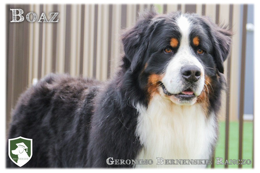 Boaz- Stud Bernese Mountain Dog