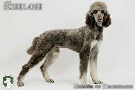 Shiloh- Standard Poodle Stud Dog