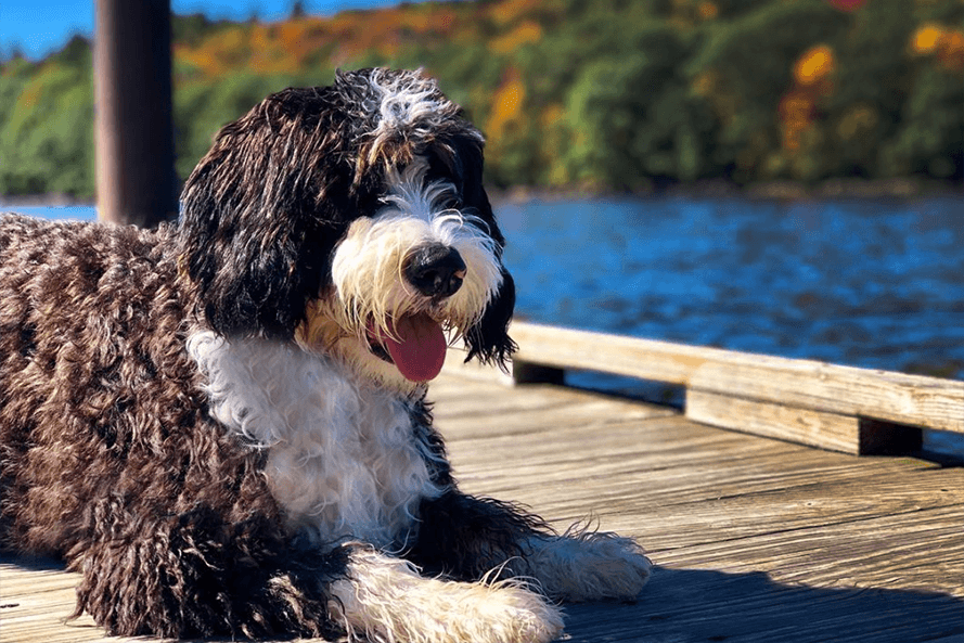 Bernedoodle Puppy on dock