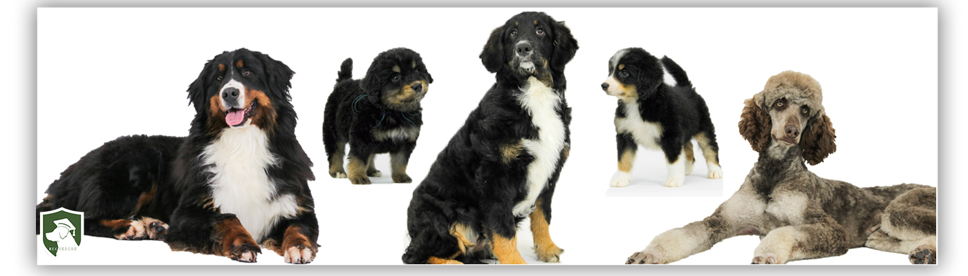 The Bernedoodle History Personality Care And More