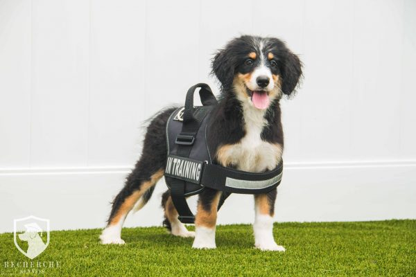 Bernese Mountain Dog And Bernedoodle Puppy Training