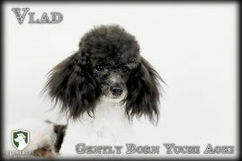 Vlad- Toy Poodle Stud Dog