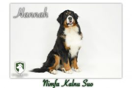 Hannah- Bernese Mountain Dam